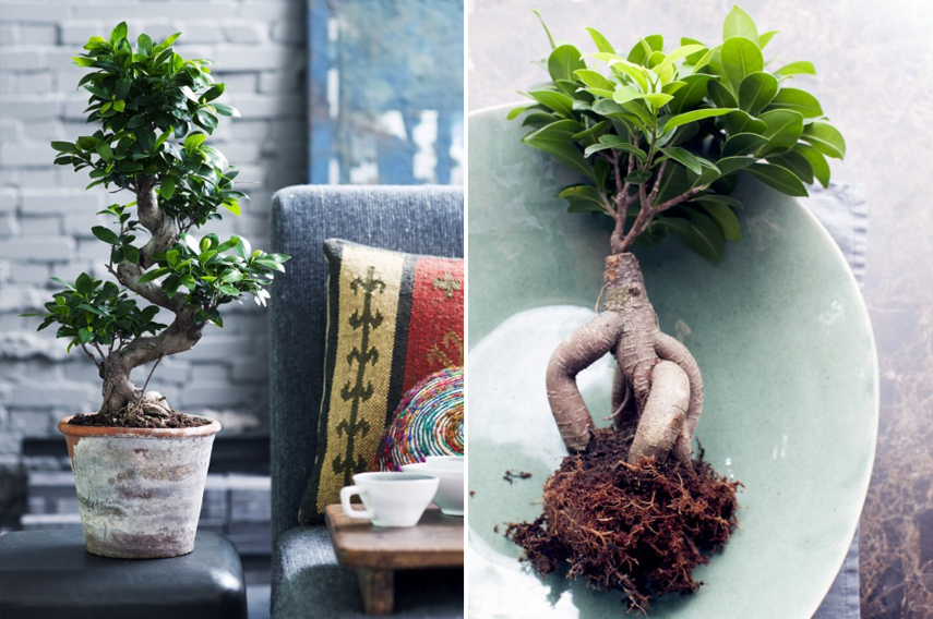Ficus Ginseng - plant of the month July