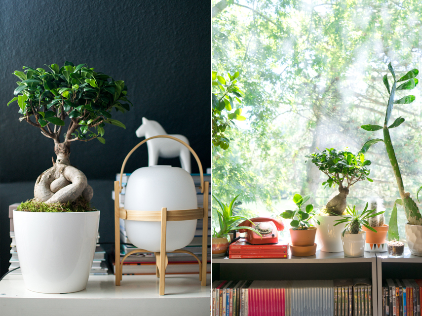 Urban Jungle Bloggers Ficus Ginseng House plant of the month July 2015