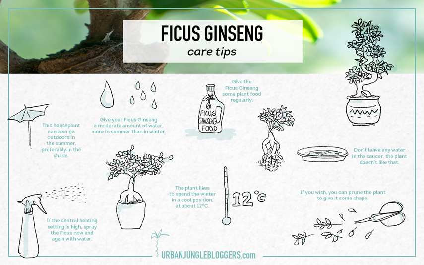 Urban Jungle Bloggers Ficus Ginseng care tips