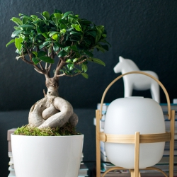 Urban Jungle Bloggers Ficus Ginseng