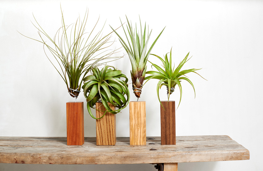 Evrgreen Tillandsia airplants + giveaway