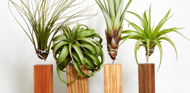 Evrgreen Tillandsia airplants + giveaway via UrbanJungleBloggers.com