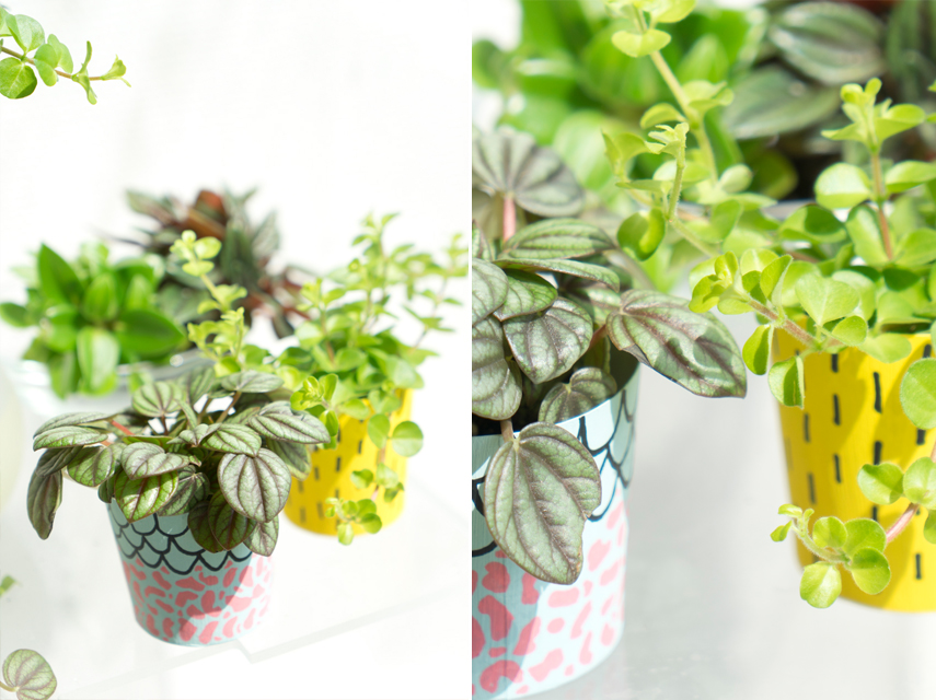 Houseplant of the Month April: Peperomia