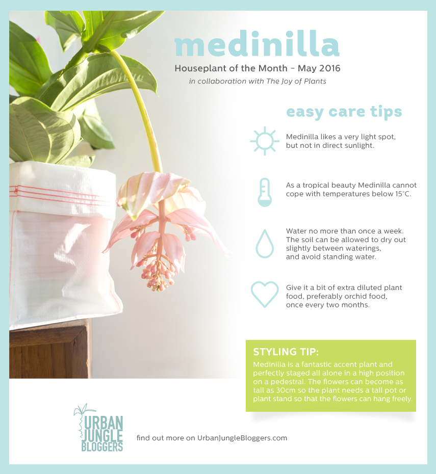 Medinilla by Urban Jungle Bloggers