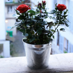 Urban Jungle Bloggers - Houseplant of the month: potted rose
