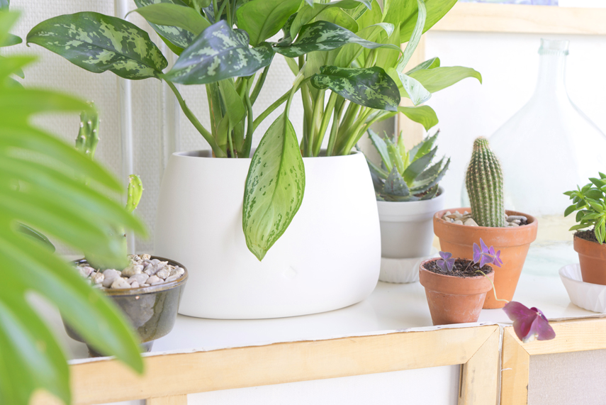 Houseplant of the month: Anglaonema