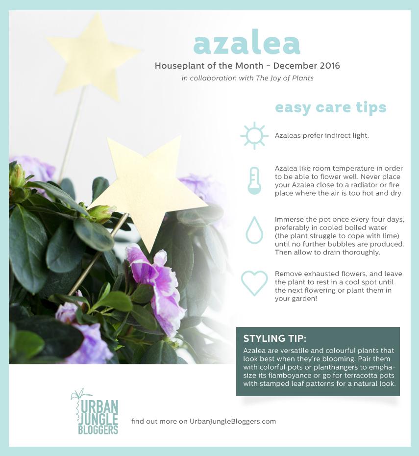 Urban Jungle Bloggers: Houseplant of the Month December: Azalea
