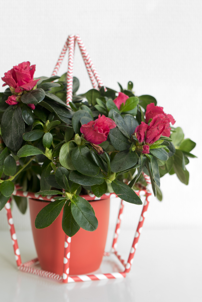 Urban Jungle Bloggers: Houseplant of the Month December: Azalea