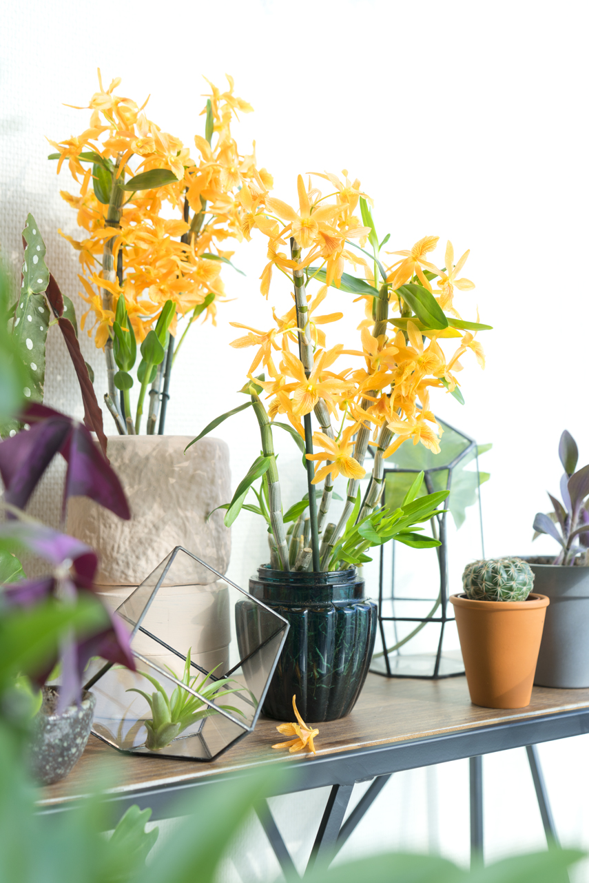 Urban Jungle Bloggers Houseplant of the Month November: Specialty Orchids