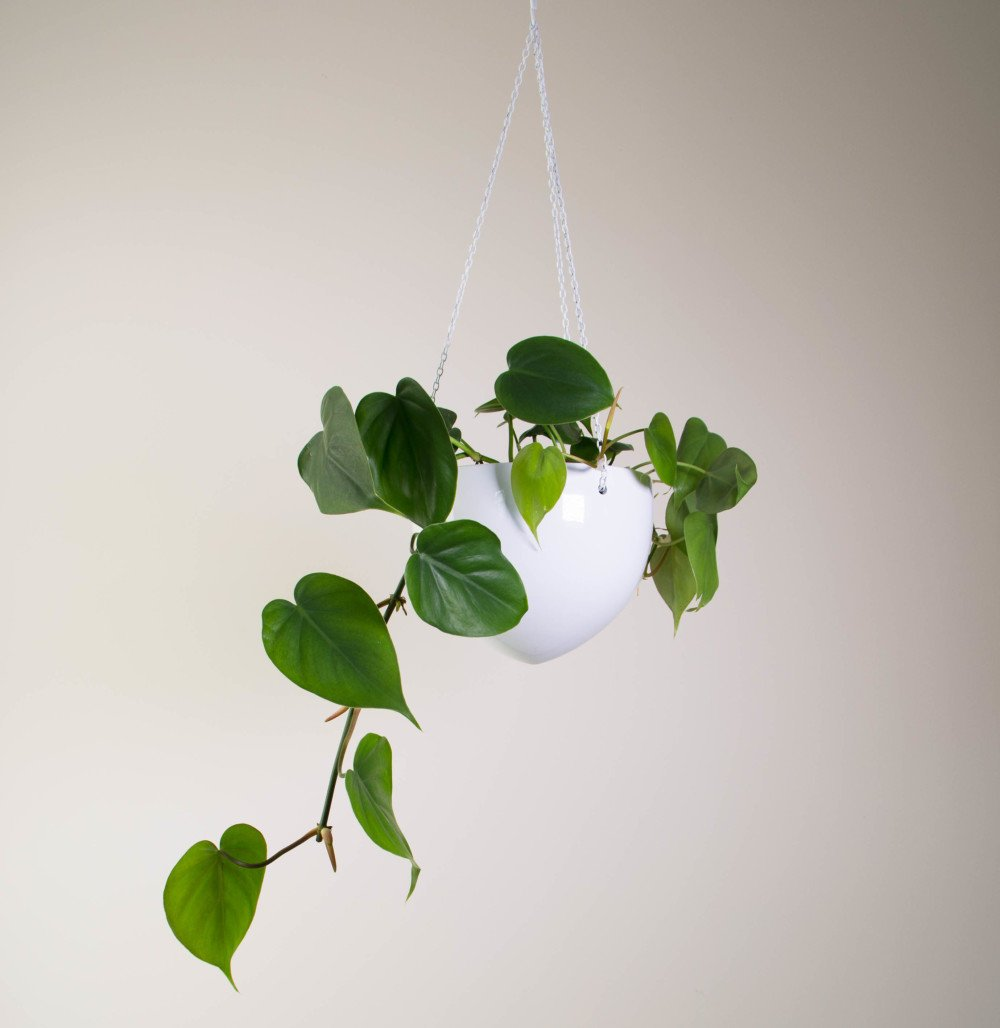 Urban Jungle Bloggers Philodendron scandens #urbanjunglebloggers